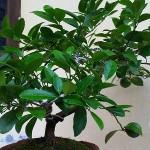 Càng trồng cây này càng rước tài lộc, hóa giải sát khí
